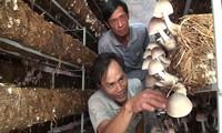 Cultivar setas de paja en casa promueve vida prospera en Dong Thap