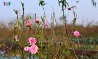 Flores del melocotón brotan temprano en el pueblo floral de Nhat Tan