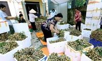 Primer lote de longan vietnamitas llega a Australia