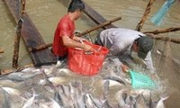 Producción de pangasius vietnamita trata de superar las dificultades