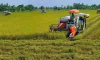Delta del río Mekong logra alta productividad de arroz en medio de la salinización