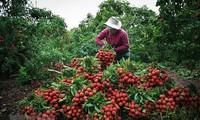 Ministerio de Agricultura y Desarrollo Rural de Vietnam apoya el consumo de lichi y otros productos agrícolas