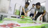 Primer lote de lichis de Bac Giang en 2021 listo por enviarse a Japón