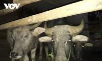 El búfalo, medio productivo y objeto de veneración de la etnia Thai