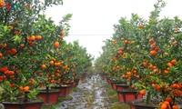 ส้มฮึงเอียน ผลไม้เฉพาะถิ่นที่ขึ้นชื่อของเวียดนาม