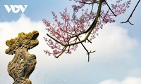 มากรุงเก่าเว้ชมดอกต้นร่มจีน
