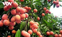 10 tonnes of Bac Giang lychees exported to Japan