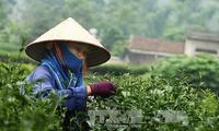 Vietnamese tea seeks brand development opportunities in US