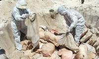 FAO khuyến nghị Việt Nam nên ban bố tình trạng khẩn cấp Quốc gia về dịch tả lợn châu Phi