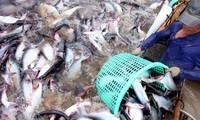 Chuyện mới về con cá da trơn Việt Nam