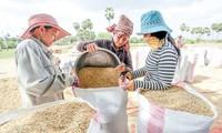 Campuchia xuất khẩu gần 1 triệu tấn thóc sang Việt Nam từ đầu năm