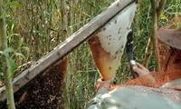 Phát huy và bảo tồn Nghề gác kèo ong - Di sản Văn hóa phi vật thể quốc gia