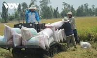 Giá gạo Việt Nam xuất khẩu tiếp tục tăng