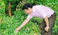 Вьетнамский крестьянин Лам Нгок Ням - создатель сорта черного перца «Баумэй»