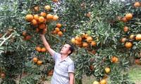 河江省光平县采用越南良好农业规范认证标准可持续发展橙子种植