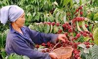 泰国92%的进口咖啡来自越南