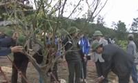 Ra quân trồng 103 cây mai vàng trước mộ Đại tướng Võ Nguyên Giáp ở Vũng Chùa - Đảo Yến