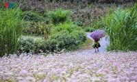 5th Buckwheat Flower Festival opens in Ha Giang