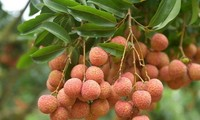 Bright prospects for fresh Vietnamese lychees in Australia