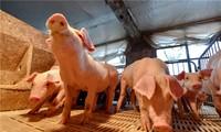FAO, OIE help Vietnam control African swine fever