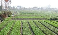 La alianza trae alta eficiencia en la producción de verduras de Quang Ninh
