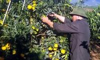 El cultivo de naranjos brinda mayores ingresos a los cultivadores de Cao Phong