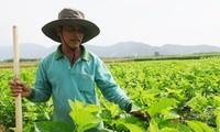 La sericicultura ayuda al progreso de los agricultores de Binh Thuan