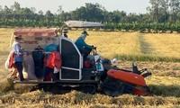 Provincia meridional de Vietnam obtiene un buen rendimiento en el cultivo del arroz