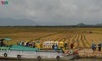 Delta del río Mekong registra un récord de productividad arrocera