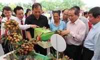 Hai Duong amplía área de producción de lichis según estándares internacionales