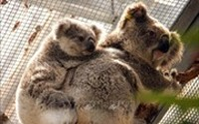 ออสเตรเลียจัดงบกว่า 30 ล้านดอลลาร์สหรัฐเพื่อช่วยชีวิตสัตว์ป่าและสิ่งแวดล้อม