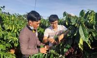 ชนเผ่า Bahnar ในจังหวัดยาลาย ผลิตกาแฟตามมาตรฐานเพื่อการส่งออก