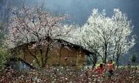 Na Ka plum valley on Moc Chau plateau, Son La province
