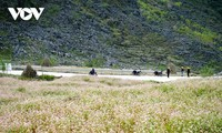 Buckwheat flowers adorn Ha Giang's mountains