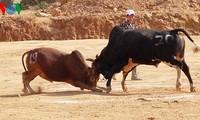 Einzigartiger Rinderkampf auf dem Liebesmarkt Khau Vai