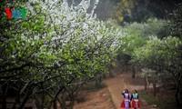 Weiße Pflaumenblüten in Moc Chau vor dem Neujahrsfest Tet