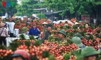 Litschi-Export: Exportchance für vietnamesische Produkte