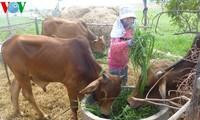 Ninh Thuan entwickelt die Tierzucht nachhaltig