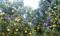 Süßer Geschmack von Orangen aus Hung Yen
