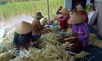 Bauern im Gebiet U Minh Ha pflanzen Bon bon zur Wirtschaftsentwicklung an