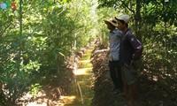 Soc Trang pflanzt Mangrovenwälder für den Küstenschutz