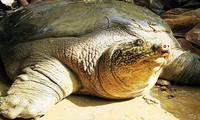 Hanoi: Das Geschlecht der Schildkröten im Hoan Kiem-See werden bestimmt