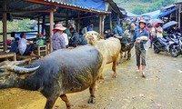 Cán Cấu – ตลาดค้าควายที่ใหญ่ที่สุดในเขตเขาตะวันตกเฉียงเหนือ