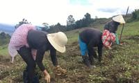 昆嵩省色当族同胞靠种植药材致富
