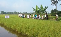 金瓯省发展无公害水稻