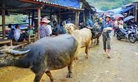 西北山区最大的集市-甘沟黄牛集市