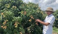 在贫瘠的土地上种植荔枝树公顷年收入达5亿多越盾