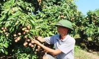 Provinz Bac Giang konzentriert sich auf Handelsförderung der Litschi