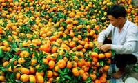 Die Schönheit der Mandarin-Gärten Lai Vung in der Provinz Dong Thap