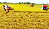 Aufbau von hygienischen Reisfeldern verstärkt den Export